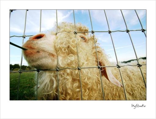 sheep_20080109.jpg